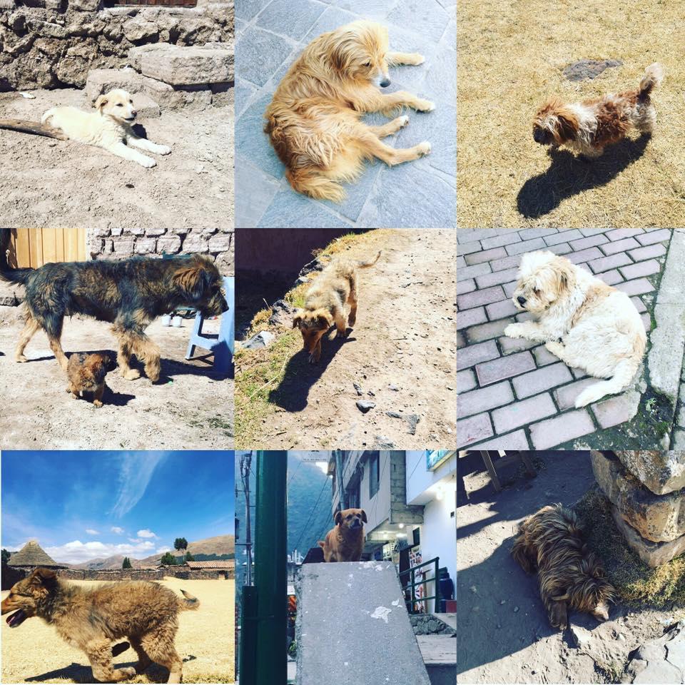 bolivian dog